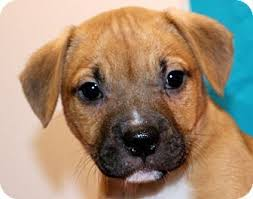 boxer dog for adoption 1230 best adopt me images on pinterest adoption pug mix and