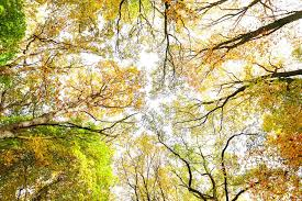 looking up through autumn trees nature background stock photo