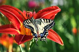 butterfly papilio machaon on flower stock photo colourbox