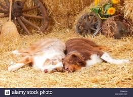 australian shepherd queensland aussie humour stock photos u0026 aussie humour stock images alamy