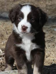 australian shepherd 9 weeks old weight get 20 mini aussie ideas on pinterest without signing up mini