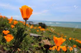 California Poppy California Poppy Images U0026 Stock Pictures Royalty Free California