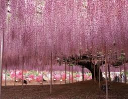 tochigi ashikaga flower park the wisteria festival 2017 photos