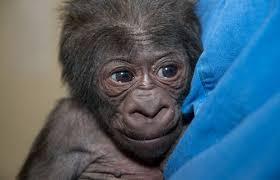 zoo u0027s newest gorilla sunny 95