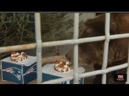 Ozzy The Grizzly Bear Picks The Eagles To Win The Super Bowl Local - zoo bear picks eagles youtube