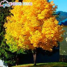 Backyard Gold Popular Gold Maple Buy Cheap Gold Maple Lots From China Gold Maple