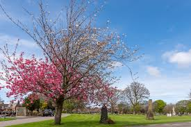 two tone cherry blossom tree in anfield cemetery liverpoo flickr