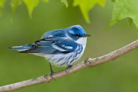 north american birds declining as threats mount