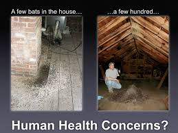 why bats become a problem and what is a bat exclusion u2013 bat