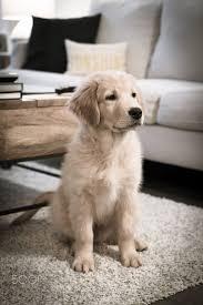 best 25 golden retriever puppies ideas on pinterest golden