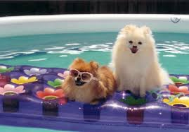 summer haircut pomeranian why you shouldn t give your pom a summer haircut yogi s pom central