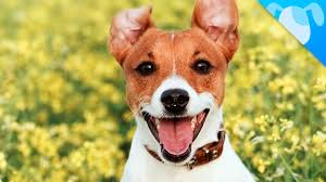 haircut ideas for long hair jack russell dogs jack russell terrier facts youtube