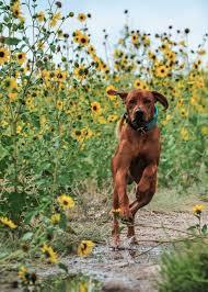 bluetick coonhound dander best 25 redbone coonhound ideas on pinterest red bone hunting