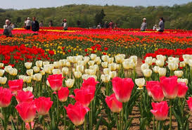 tulip festival map let s go to the tulip festival at echigo kyuryo park and see two