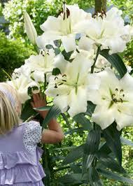 holland bulb farmstree lily planting info