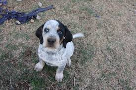 bluetick coonhound name origin view ad bluetick coonhound puppy for sale oklahoma bristow usa