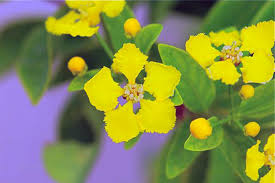 Yellow Orchid Seed Of The Week Yellow Orchid Vine U2013 Growing With Science Blog