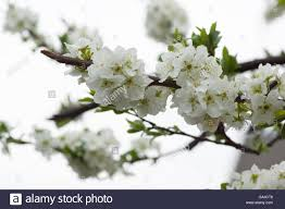 white ornamental pear blossom stock photos white ornamental pear