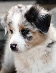 risk n hope australian shepherds 19 best australian shepherds images on pinterest aussie puppies