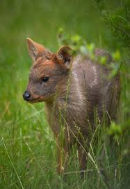 smallest baby deer born at chester zoo zoo news chester zoo uk