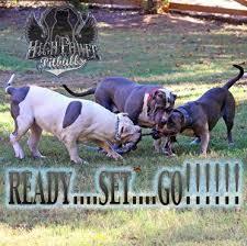 american pitbull terrier puppies louisiana high power pitbulls xxl bullies home page