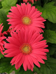 real flowers gerbera maryland flowers img 7510 gerbera canon
