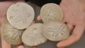 where to buy sand dollars what do sand dollars eat reference