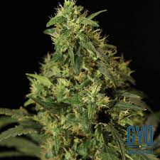northern lights yield indoor bulldog seeds northern light feminised cannabis seeds