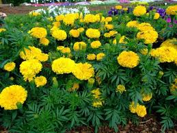 tagetes erecta health effects and herbal facts