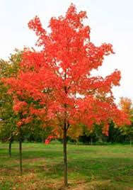 maple tree symbolism tree services in rochester tree stump removal trimming cutting