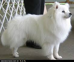 pictures of a american eskimo dog the 83 best images about american eskimo dog on pinterest