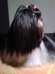 shih tzu with curly hair shih tzu dog breed information and pictures