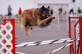 belgian sheepdog illinois tervuren belgium hotelroomsearch net