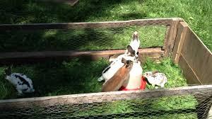 meat rabbits summer housing setup youtube