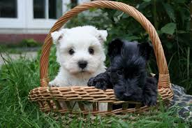 Scottish Terrier Top Dog Picture