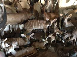 taxidermy information bushman s quiver taxidermy animals grouping taxidermy animals taxidermy shop