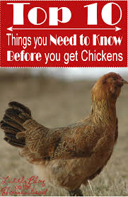 Caring For Backyard Chickens by 100 How To Care For Backyard Chickens How To Keep Chickens In A