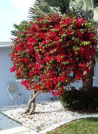 bougainvillea growing in your florida yard the florida living