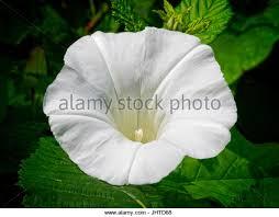 White Trumpet Flower - trumpet shaped flower stock photos u0026 trumpet shaped flower stock