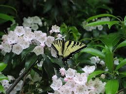 kalmia latifolia wildflower mountain laurel kalmia latifolia sandy creek trail