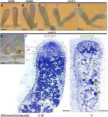 the symbiosis related ern transcription factors act in concert to