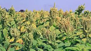 green amaranth field from india amaranth is cultivated as leaf