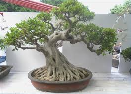 small bonsai trees for sale waterboard me