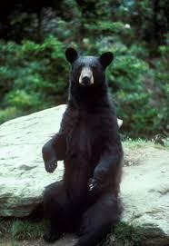 bear ms karoly academia edu