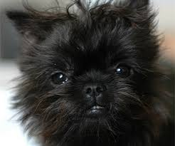 affenpinscher white affen terrier mix of border terrier and affenpinscher