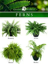 fern houseplants care
