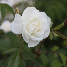 buy rose climbing iceberg climbing floribunda rosa u0027climbing