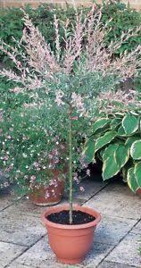 japanese willow tree 9l pot salix integra hakuro nishiki