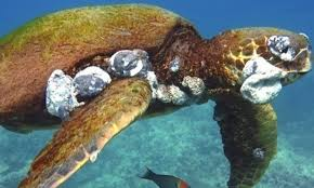 gruesome tumors on sea turtles linked to climate change and