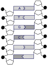 Dna Structure And Replication Worksheet Key Dna Structure Lessons Tes Teach